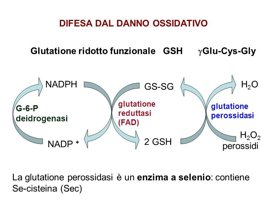 La carenza di G6P deidrogenasi è uno dei deficit enzimatici più diffusi Cromosoma X ANEMIA EMOLITICA a causa di danni ossidativi alla membrana eritrocitaria Può essere latente e verificarsi solo in caso di stress - farmaci farmaci (antimalarici, sulfammidici,..