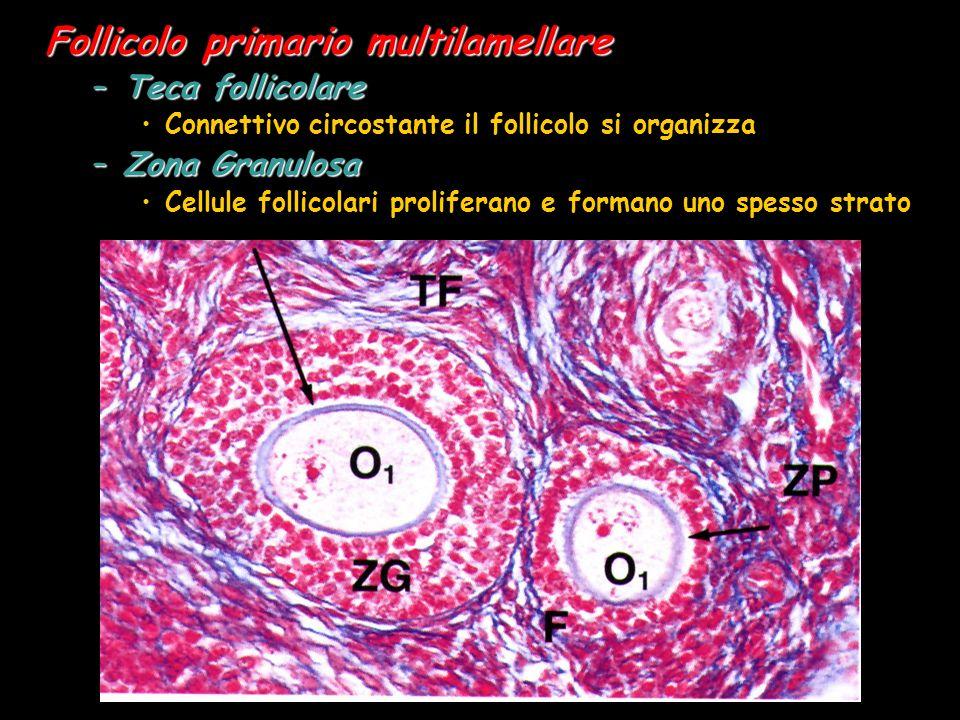 Follicolo primario multilamellare –Teca follicolare Connettivo circostante il follicolo si organizza –Zona Granulosa Cellule follicolari proliferano e