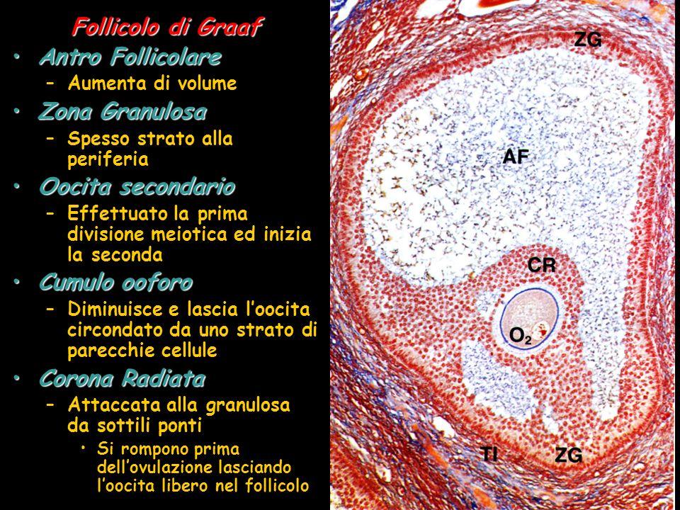 Follicolo di Graaf Antro FollicolareAntro Follicolare –Aumenta di volume Zona GranulosaZona Granulosa –Spesso strato alla periferia Oocita secondarioO