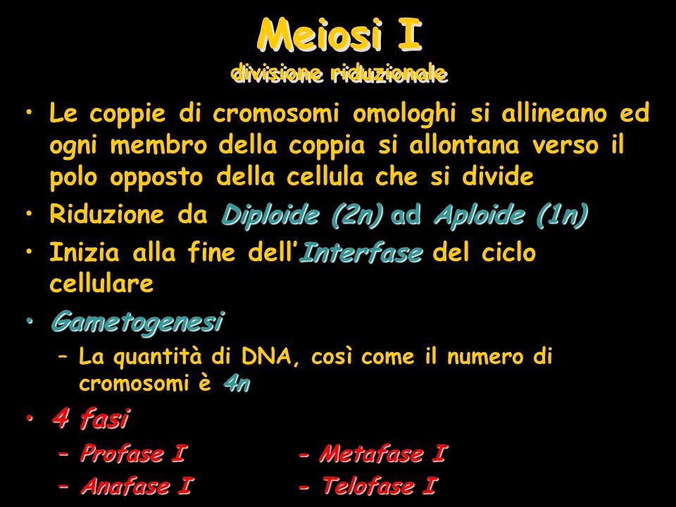 Meiosi I divisione riduzionale Le coppie di cromosomi omologhi si allineano ed ogni membro della coppia si allontana verso il polo opposto della cellu