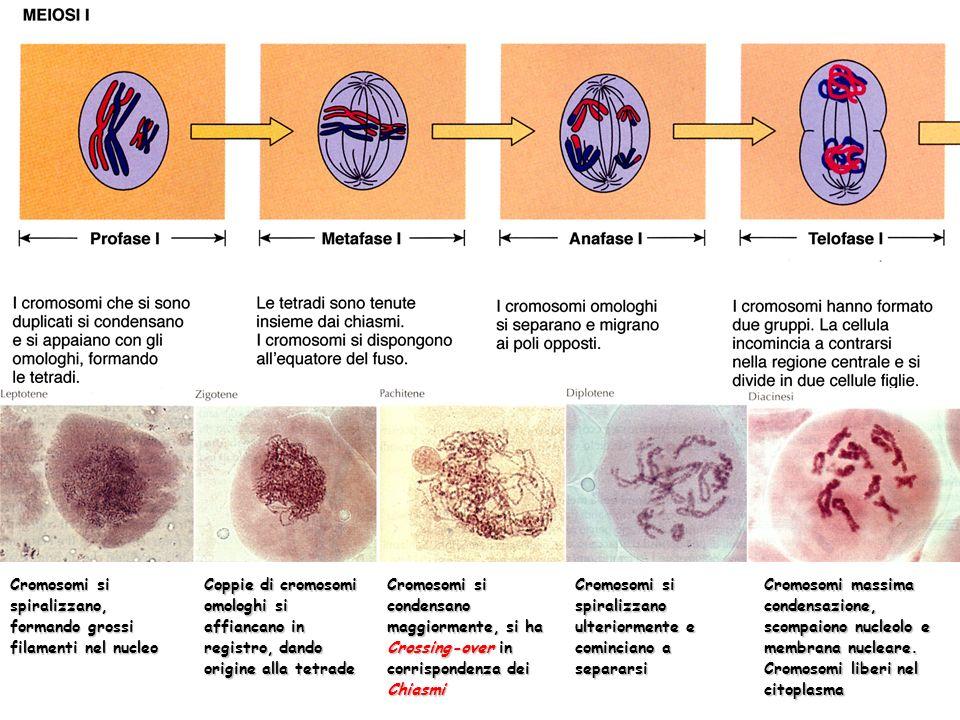 Cromosomi si spiralizzano, formando grossi filamenti nel nucleo Coppie di cromosomi omologhi si affiancano in registro, dando origine alla tetrade Cro