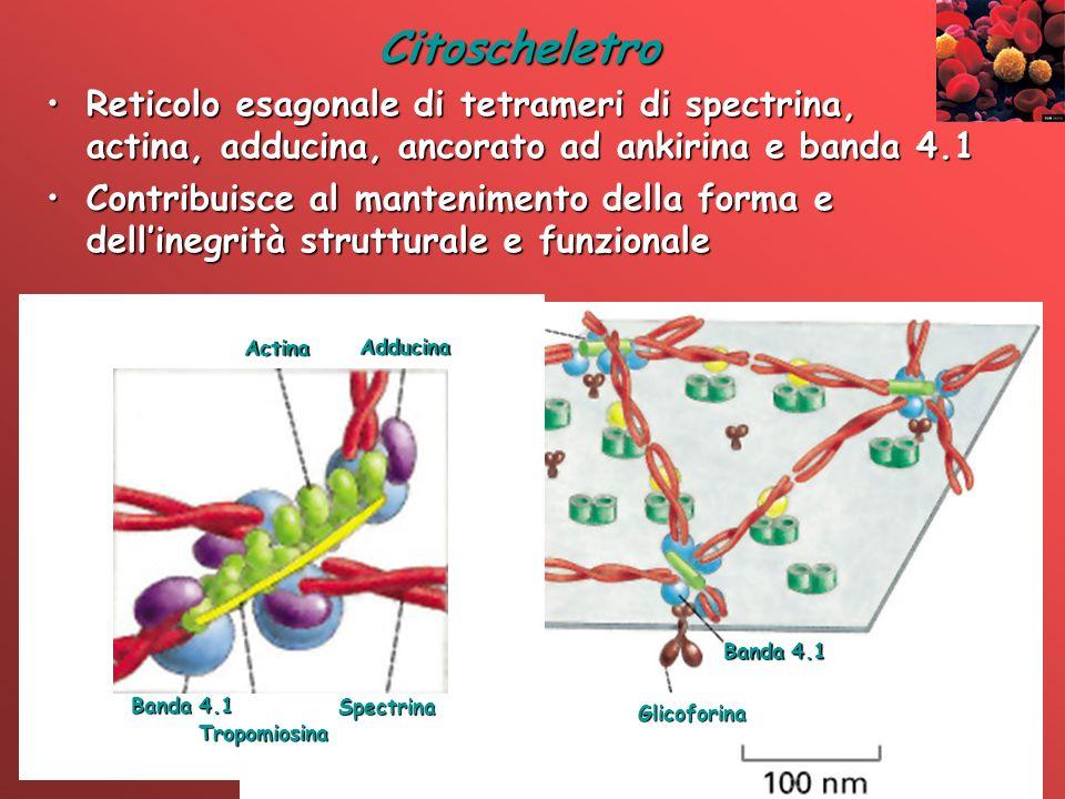 Actina Spectrina Ankirina Banda 3 Glicoforina Banda 4.1 Complesso di giunzione Citoscheletro Reticolo esagonale di tetrameri di spectrina, actina, add