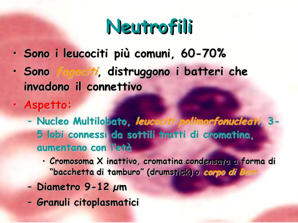 Neutrofili Sono i leucociti più comuni, 60-70%Sono i leucociti più comuni, 60-70% Sono fagociti, distruggono i batteri che invadono il connettivoSono
