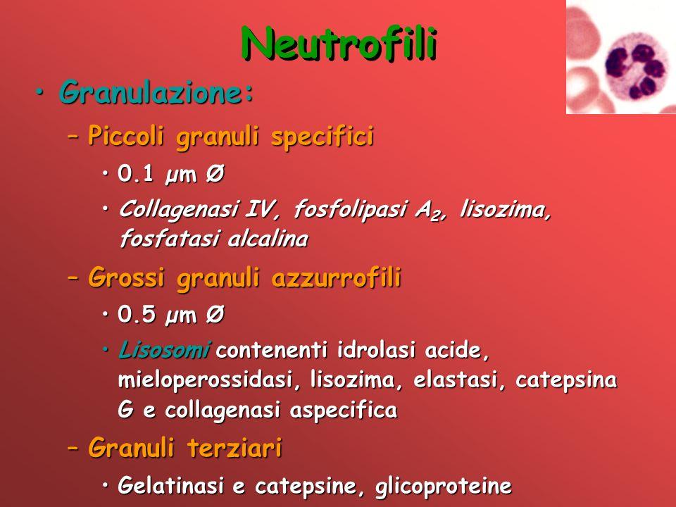 Neutrofili Granulazione:Granulazione: –Piccoli granuli specifici 0.1 µm Ø0.1 µm Ø Collagenasi IV, fosfolipasi A 2, lisozima, fosfatasi alcalinaCollage