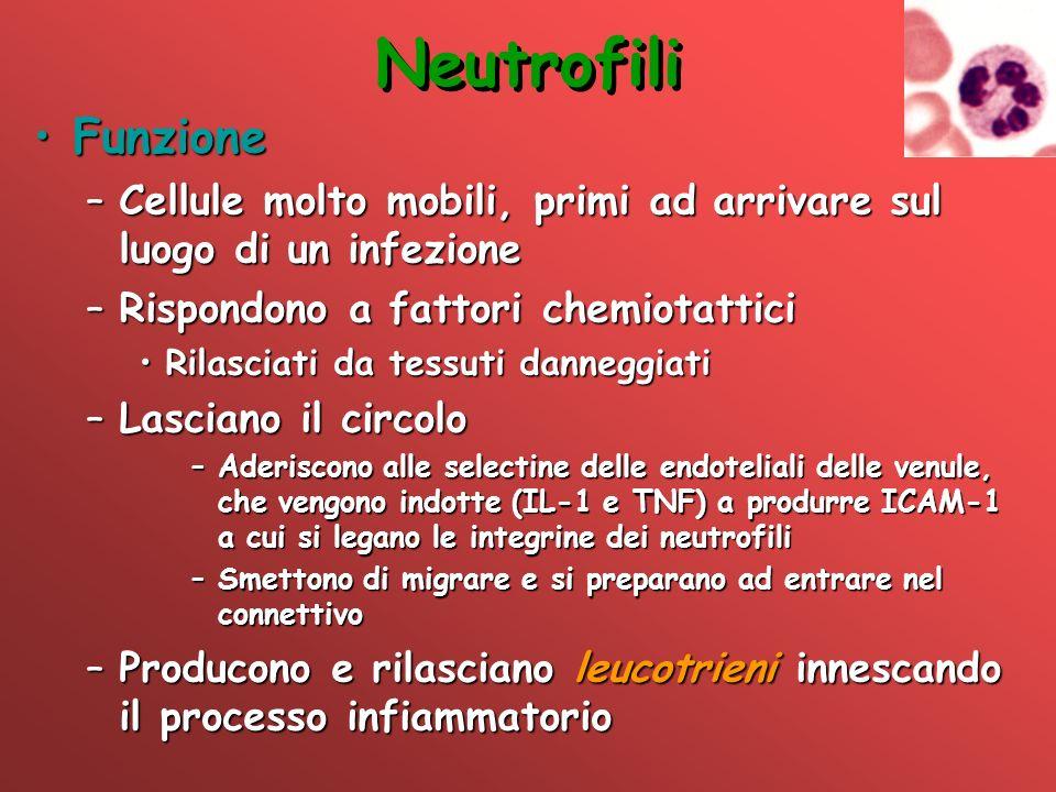 Neutrofili FunzioneFunzione –Cellule molto mobili, primi ad arrivare sul luogo di un infezione –Rispondono a fattori chemiotattici Rilasciati da tessu