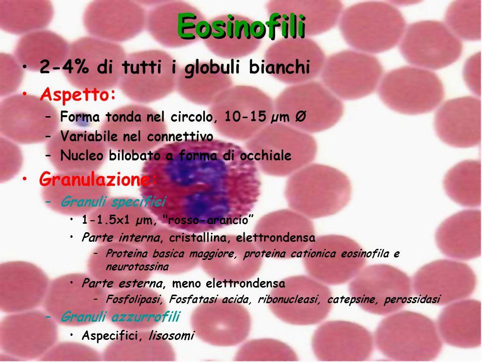 Eosinofili 2-4% di tutti i globuli bianchi Aspetto: –Forma tonda nel circolo, 10-15 µm Ø –Variabile nel connettivo –Nucleo bilobato a forma di occhial