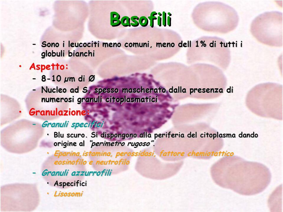 Basofili –Sono i leucociti meno comuni, meno dell 1% di tutti i globuli bianchi Aspetto:Aspetto: –8-10 µm di Ø –Nucleo ad S, spesso mascherato dalla p