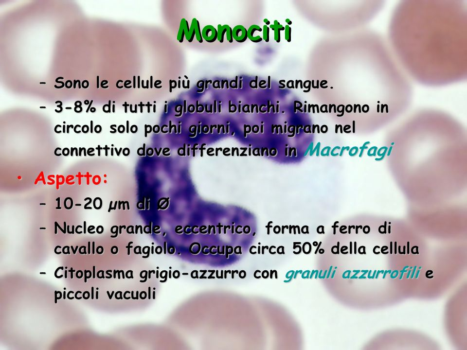 Monociti –Sono le cellule più grandi del sangue. –3-8% di tutti i globuli bianchi. Rimangono in circolo solo pochi giorni, poi migrano nel connettivo