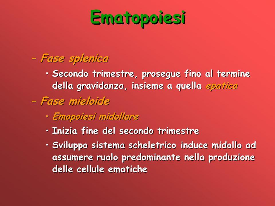 Ematopoiesi –Fase splenica Secondo trimestre, prosegue fino al termine della gravidanza, insieme a quella epaticaSecondo trimestre, prosegue fino al t