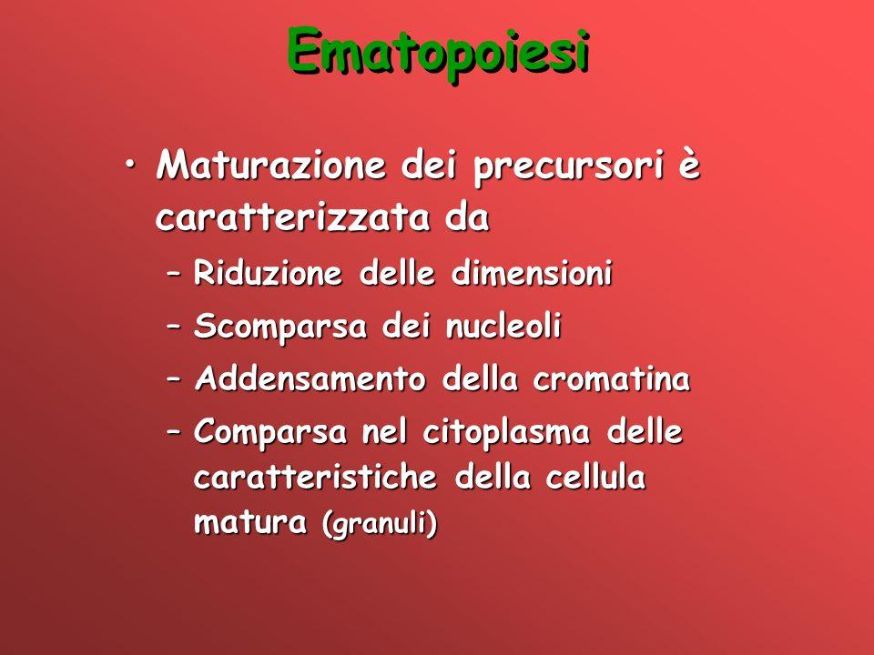 Ematopoiesi Maturazione dei precursori è caratterizzata daMaturazione dei precursori è caratterizzata da –Riduzione delle dimensioni –Scomparsa dei nu
