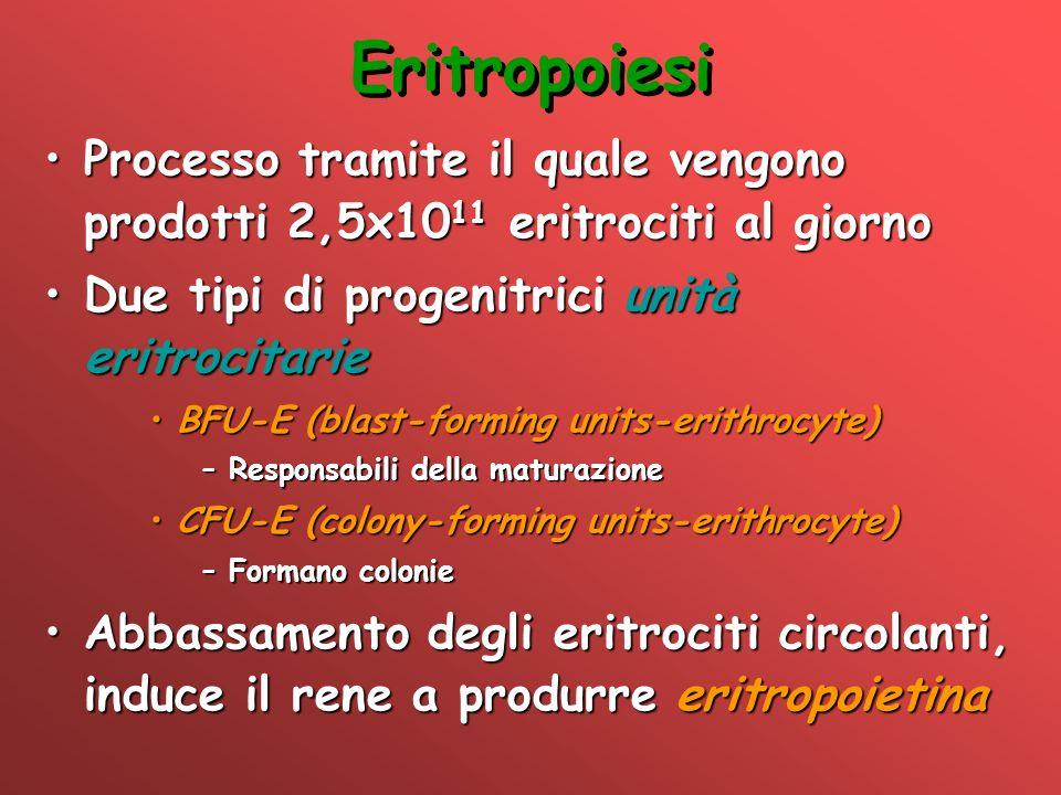 Eritropoiesi Processo tramite il quale vengono prodotti 2,5x10 11 eritrociti al giornoProcesso tramite il quale vengono prodotti 2,5x10 11 eritrociti