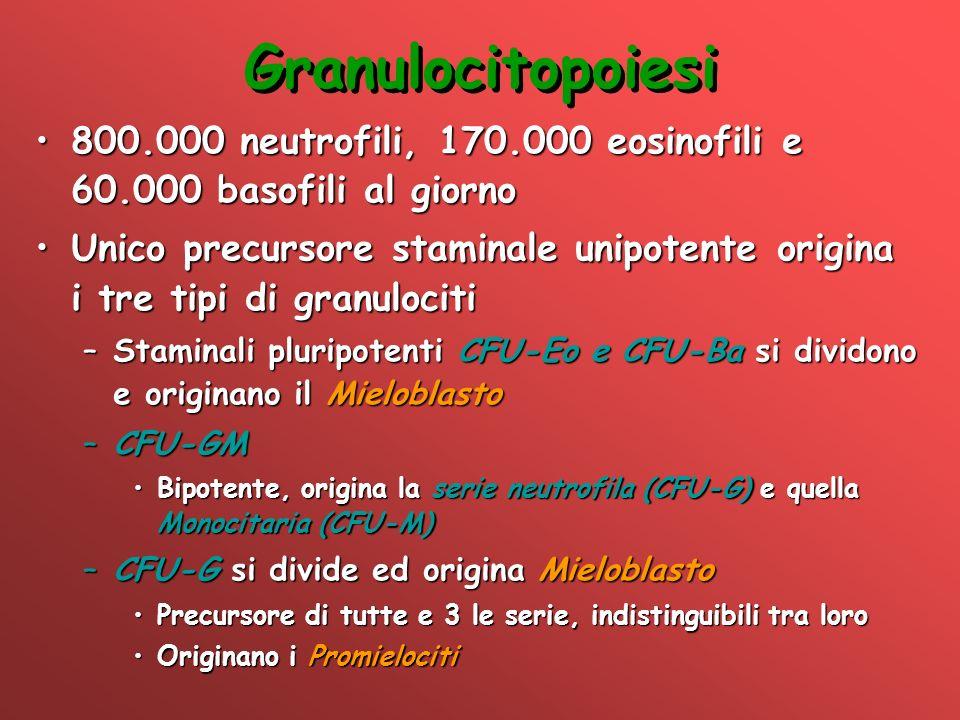 Granulocitopoiesi 800.000 neutrofili, 170.000 eosinofili e 60.000 basofili al giorno800.000 neutrofili, 170.000 eosinofili e 60.000 basofili al giorno
