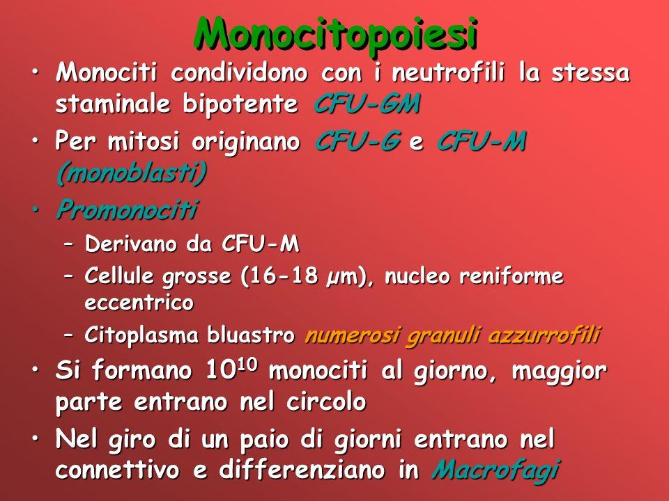 Monocitopoiesi Monociti condividono con i neutrofili la stessa staminale bipotente CFU-GMMonociti condividono con i neutrofili la stessa staminale bip
