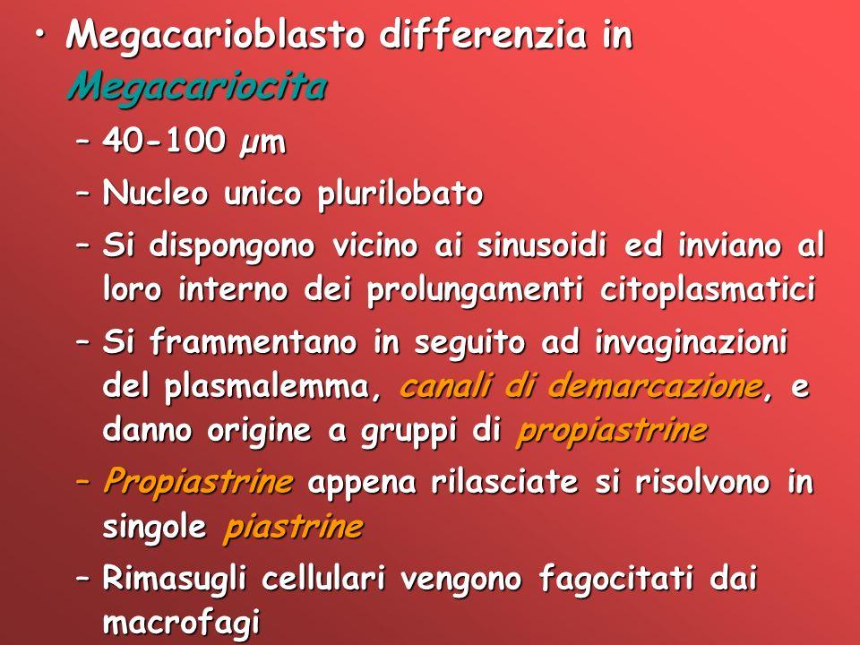 Megacarioblasto differenzia in MegacariocitaMegacarioblasto differenzia in Megacariocita –40-100 µm –Nucleo unico plurilobato –Si dispongono vicino ai