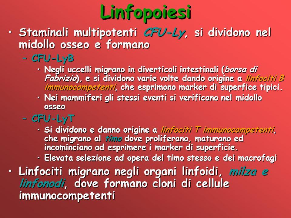 Linfopoiesi Staminali multipotenti CFU-Ly, si dividono nel midollo osseo e formanoStaminali multipotenti CFU-Ly, si dividono nel midollo osseo e forma