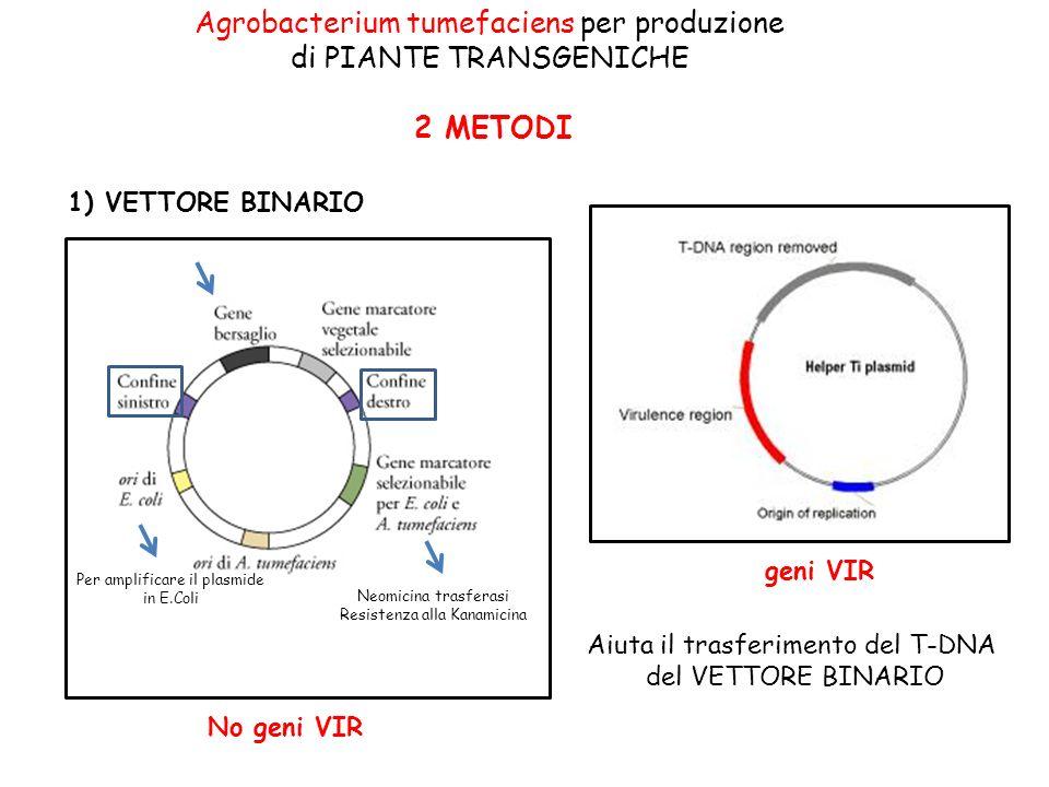Agrobacterium tumefaciens per produzione di PIANTE TRANSGENICHE 2 METODI Neomicina trasferasi Resistenza alla Kanamicina Per amplificare il plasmide i