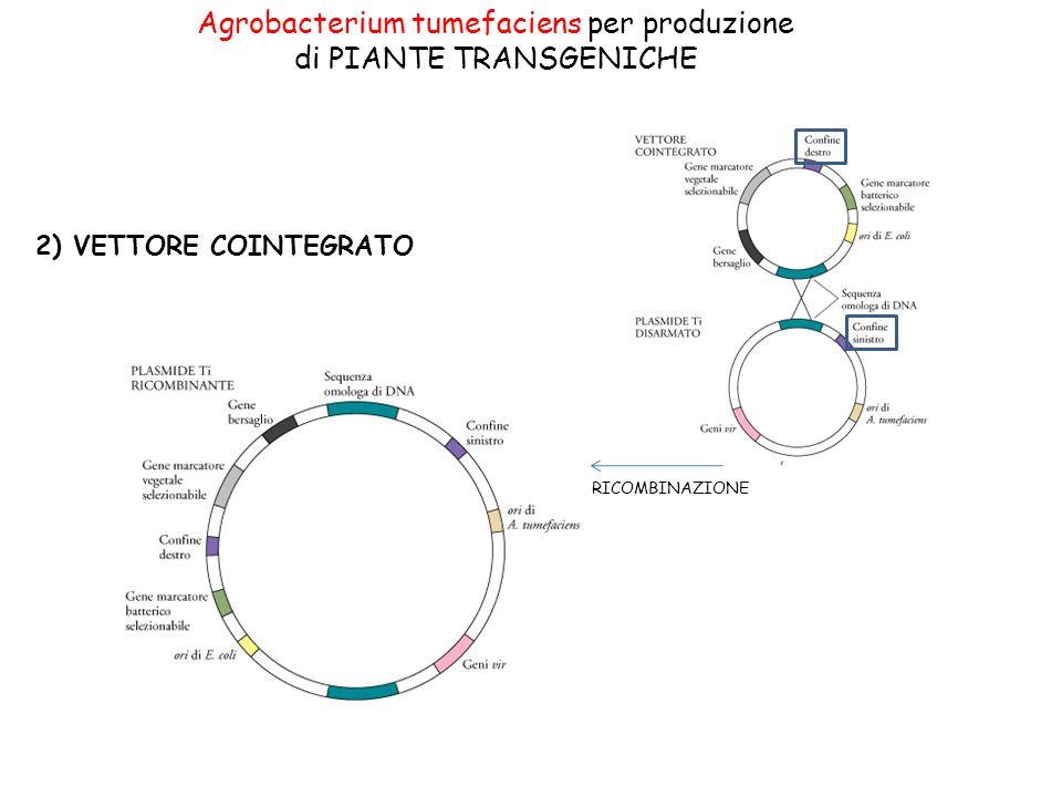 Agrobacterium tumefaciens per produzione di PIANTE TRANSGENICHE 2) VETTORE COINTEGRATO RICOMBINAZIONE