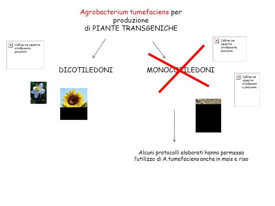 Agrobacterium tumefaciens per produzione di PIANTE TRANSGENICHE DICOTILEDONIMONOCOTILEDONI Alcuni protocolli elaborati hanno permesso lutilizzo di A.tumefaciens anche in mais e riso