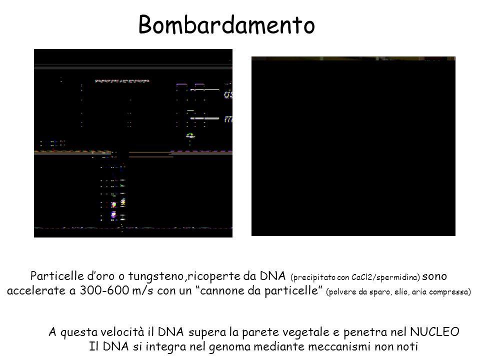 Bombardamento Particelle doro o tungsteno,ricoperte da DNA (precipitato con CaCl2/spermidina) sono accelerate a 300-600 m/s con un cannone da particelle (polvere da sparo, elio, aria compressa) A questa velocità il DNA supera la parete vegetale e penetra nel NUCLEO Il DNA si integra nel genoma mediante meccanismi non noti