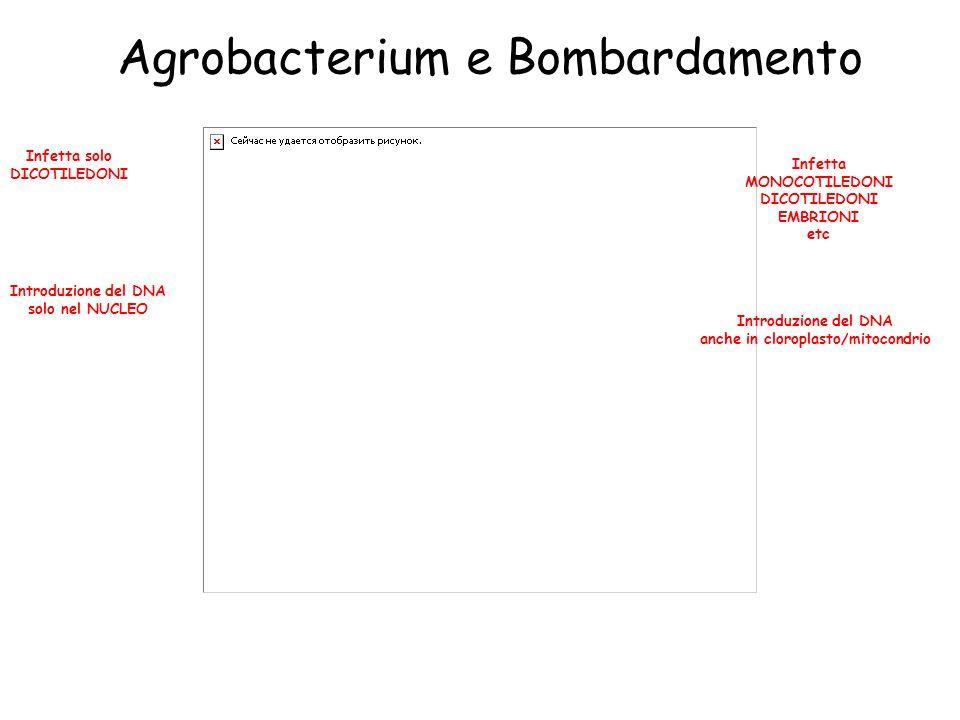 Agrobacterium e Bombardamento Introduzione del DNA solo nel NUCLEO Introduzione del DNA anche in cloroplasto/mitocondrio Infetta solo DICOTILEDONI Infetta MONOCOTILEDONI DICOTILEDONI EMBRIONI etc