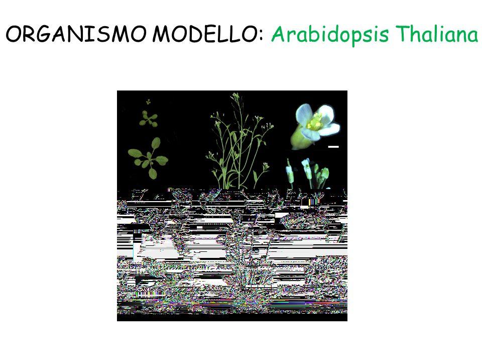 ORGANISMO MODELLO: Arabidopsis Thaliana