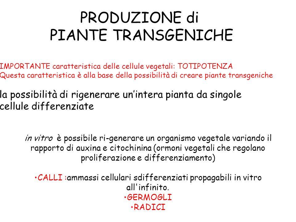 PRODUZIONE di PIANTE TRANSGENICHE IMPORTANTE caratteristica delle cellule vegetali: TOTIPOTENZA Questa caratteristica è alla base della possibilità di