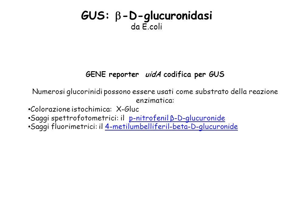 da E.coli GENE reporter uidA codifica per GUS Numerosi glucorinidi possono essere usati come substrato della reazione enzimatica: Colorazione istochimica: X-Gluc Saggi spettrofotometrici: il p-nitrofenil β-D-glucuronidep-nitrofenil β-D-glucuronide Saggi fluorimetrici: il 4-metilumbelliferil-beta-D-glucuronide4-metilumbelliferil-beta-D-glucuronide