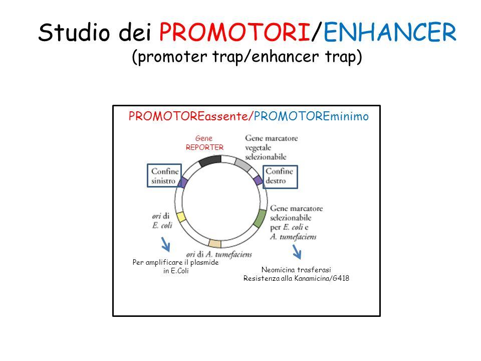 Studio dei PROMOTORI/ENHANCER (promoter trap/enhancer trap) Neomicina trasferasi Resistenza alla Kanamicina/G418 Per amplificare il plasmide in E.Coli PROMOTOREassente/PROMOTOREminimo Gene REPORTER