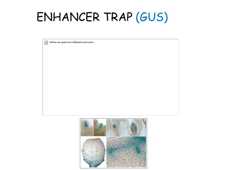 ENHANCER TRAP (GUS)