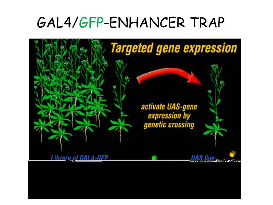 GAL4/GFP-ENHANCER TRAP