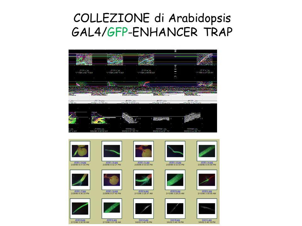 COLLEZIONE di Arabidopsis GAL4/GFP-ENHANCER TRAP
