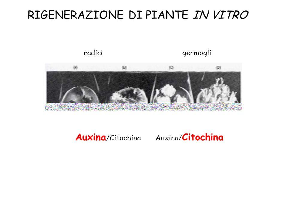 Auxina/ Citochina germogliradici