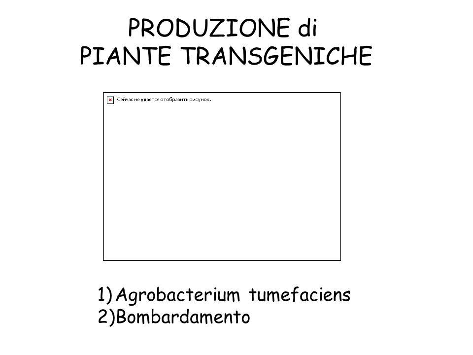 PRODUZIONE di PIANTE TRANSGENICHE 1)Agrobacterium tumefaciens 2)Bombardamento