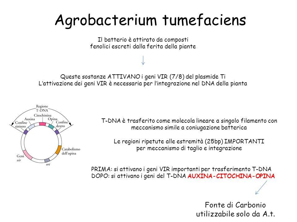 Agrobacterium tumefaciens Il batterio è attirato da composti fenolici escreti dalla ferita della piante Queste sostanze ATTIVANO i geni VIR (7/8) del plasmide Ti Lattivazione dei geni VIR è necessaria per lintegrazione nel DNA della pianta T-DNA è trasferito come molecola lineare a singolo filamento con meccanismo simile a coniugazione batterica Le regioni ripetute alle estremità (25bp) IMPORTANTI per meccanismo di taglio e integrazione PRIMA: si attivano i geni VIR importanti per trasferimento T-DNA DOPO: si attivano i geni del T-DNA AUXINA-CITOCHINA-OPINA Fonte di Carbonio utilizzabile solo da A.t.