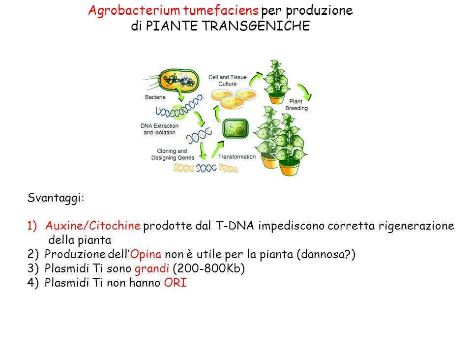 Agrobacterium tumefaciens per produzione di PIANTE TRANSGENICHE Svantaggi: 1)Auxine/Citochine prodotte dal T-DNA impediscono corretta rigenerazione della pianta 2)Produzione dellOpina non è utile per la pianta (dannosa?) 3)Plasmidi Ti sono grandi (200-800Kb) 4)Plasmidi Ti non hanno ORI