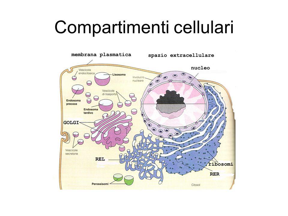 Compartimenti cellulari