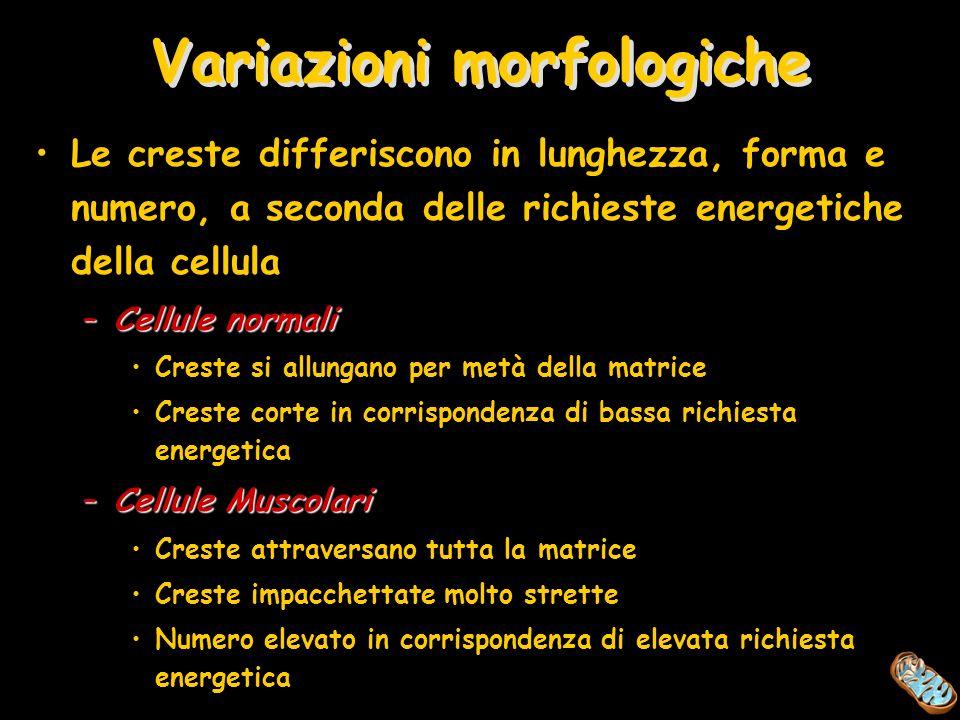 Variazioni morfologiche Le creste differiscono in lunghezza, forma e numero, a seconda delle richieste energetiche della cellula –Cellule normali Cres
