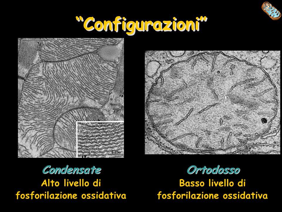 Configurazioni Condensate Alto livello di fosforilazione ossidativa Ortodosso Basso livello di fosforilazione ossidativa