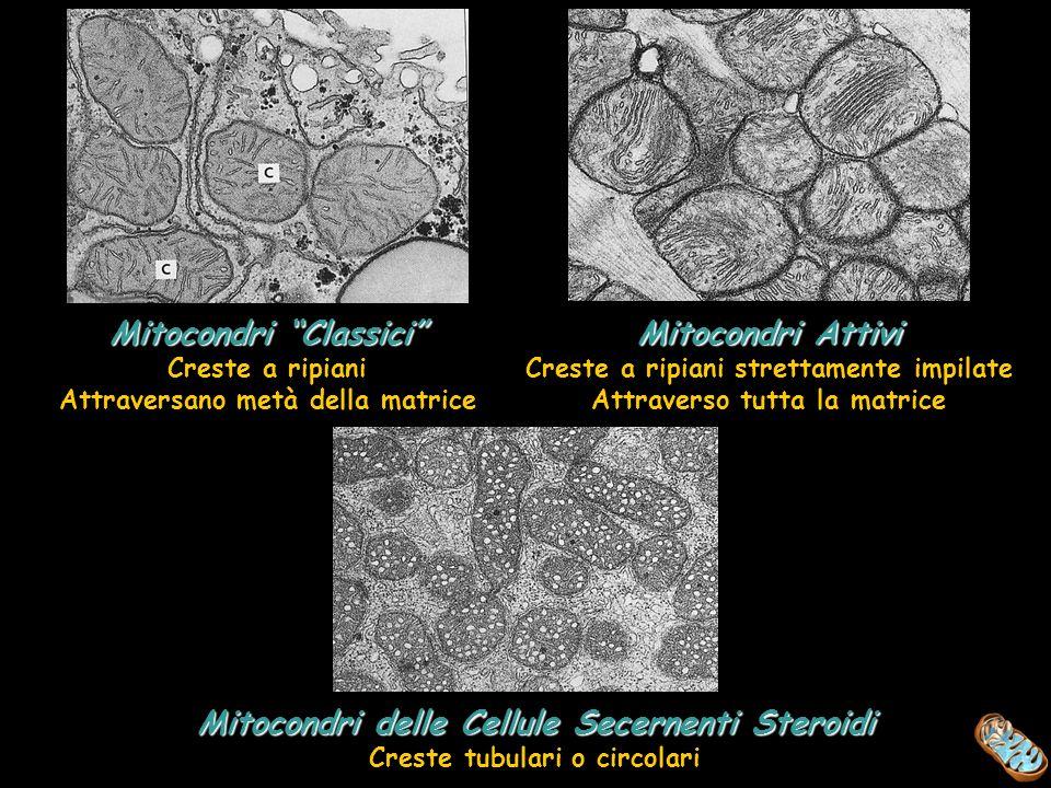 Mitocondri Classici Creste a ripiani Attraversano metà della matrice Mitocondri Attivi Creste a ripiani strettamente impilate Attraverso tutta la matr
