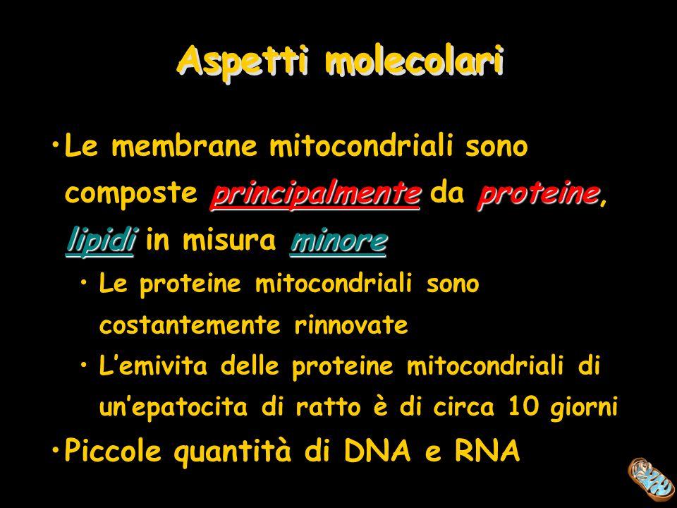 Aspetti molecolari principalmenteproteine lipidiminoreLe membrane mitocondriali sono composte principalmente da proteine, lipidi in misura minore Le p