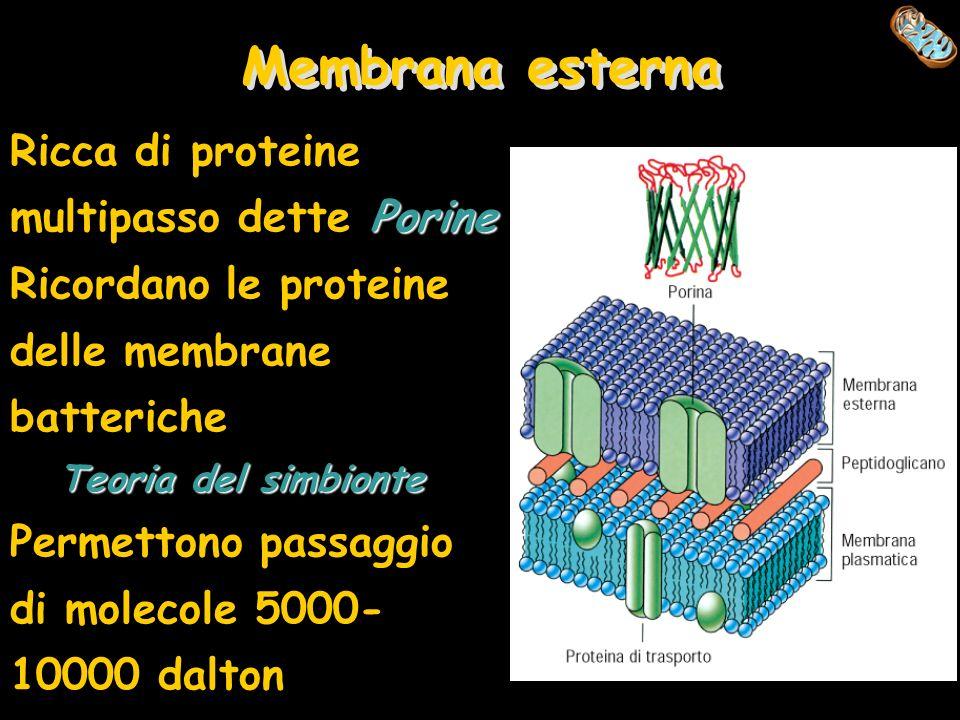 Membrana esterna Porine Ricca di proteine multipasso dette Porine Ricordano le proteine delle membrane batteriche Teoria del simbionte Permettono pass