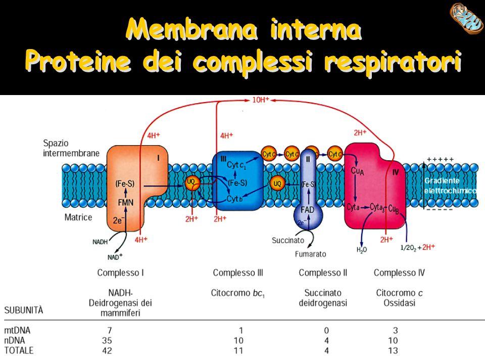 Membrana interna Proteine dei complessi respiratori