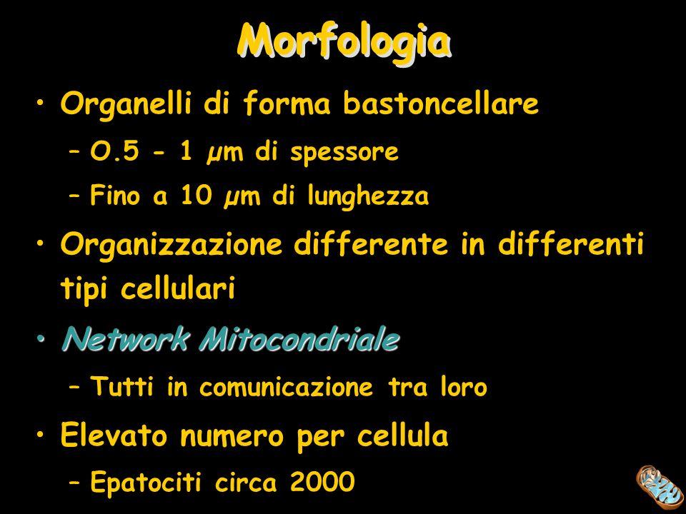 Morfologia Organelli di forma bastoncellare –O.5 - 1 µm di spessore –Fino a 10 µm di lunghezza Organizzazione differente in differenti tipi cellulari