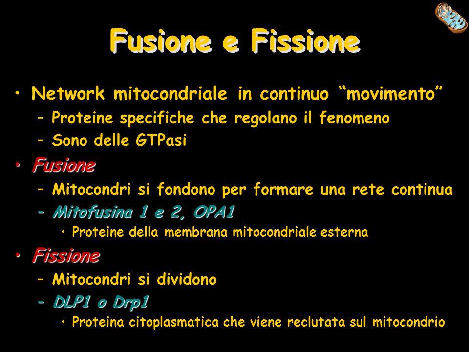 Fusione e Fissione Network mitocondriale in continuo movimento –Proteine specifiche che regolano il fenomeno –Sono delle GTPasi FusioneFusione –Mitoco
