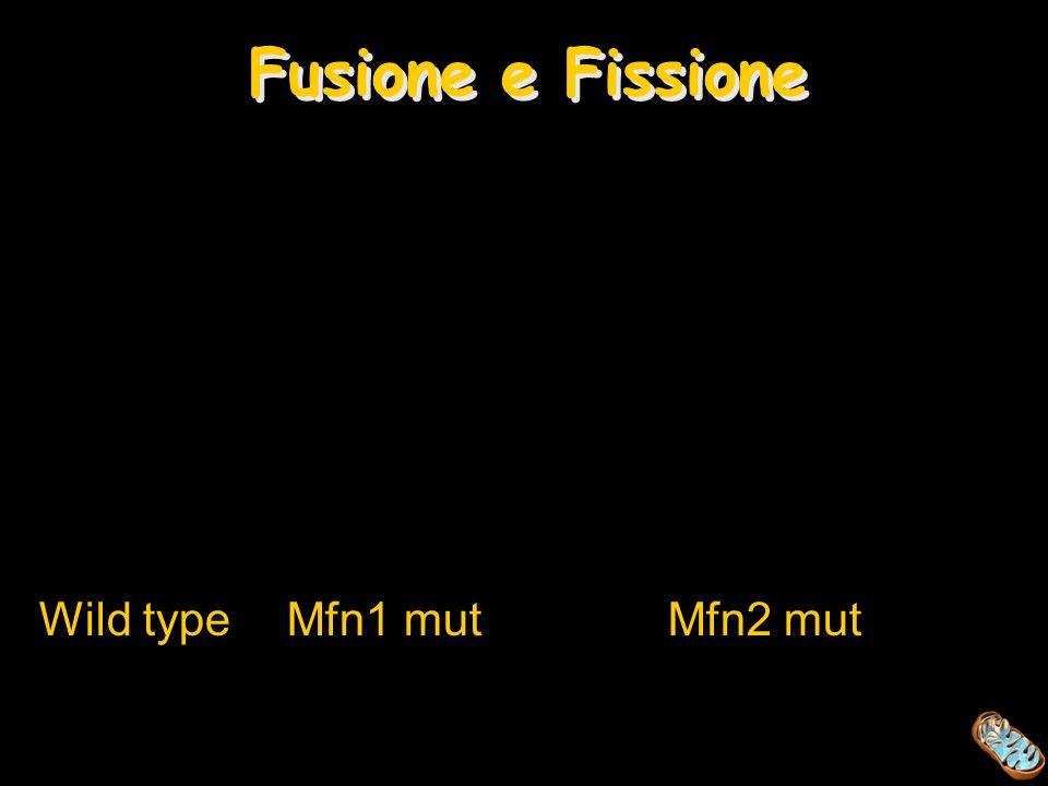Wild type Mfn1 mutMfn2 mut