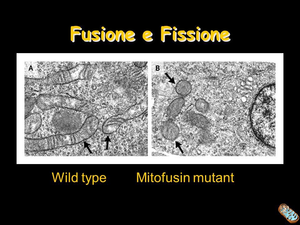 Wild type Mitofusin mutant