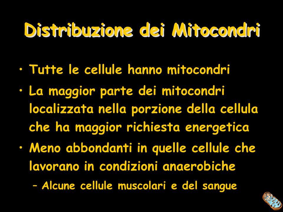 Distribuzione dei Mitocondri Tutte le cellule hanno mitocondri La maggior parte dei mitocondri localizzata nella porzione della cellula che ha maggior