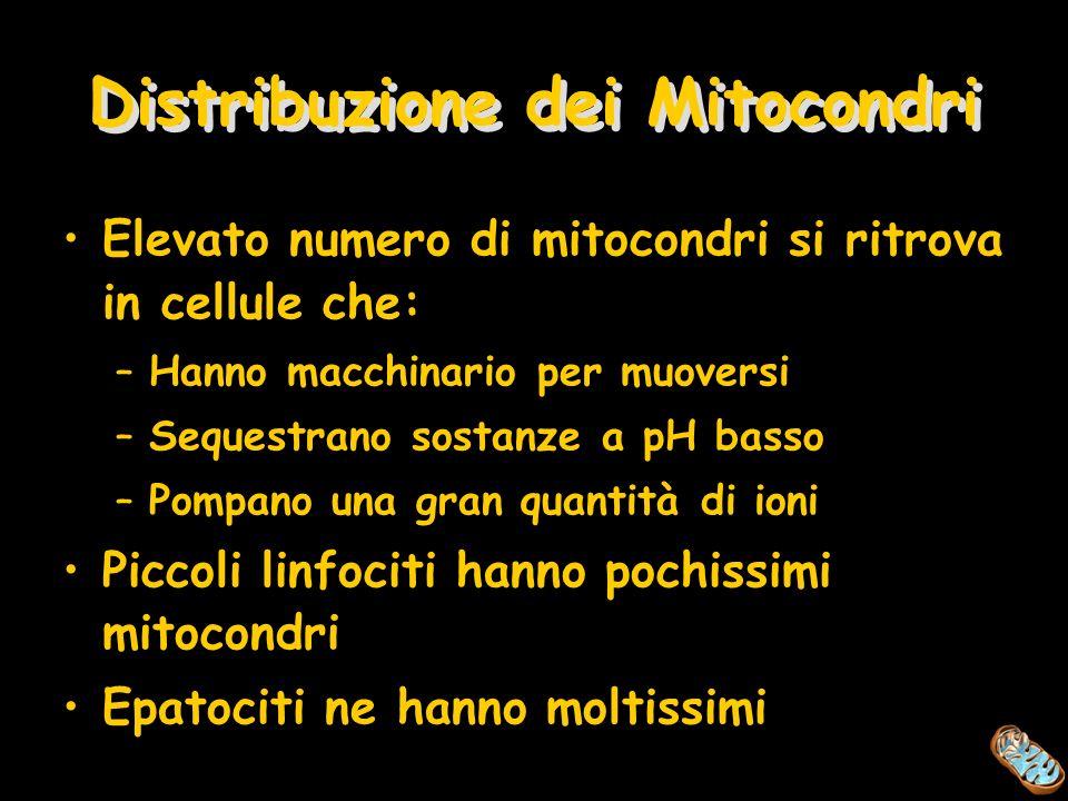Distribuzione dei Mitocondri Elevato numero di mitocondri si ritrova in cellule che: –Hanno macchinario per muoversi –Sequestrano sostanze a pH basso