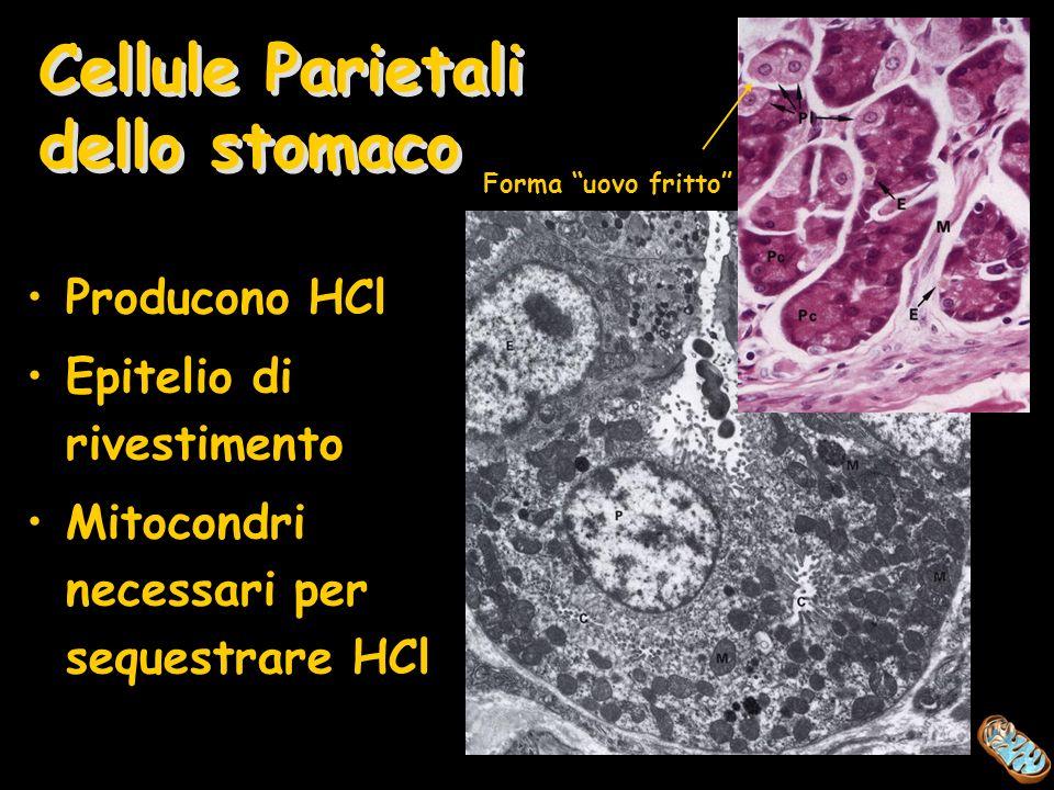 Cellule Parietali dello stomaco Producono HCl Epitelio di rivestimento Mitocondri necessari per sequestrare HCl Forma uovo fritto