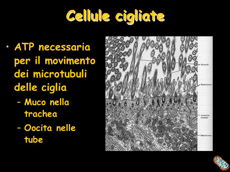 Cellule cigliate ATP necessaria per il movimento dei microtubuli delle ciglia –Muco nella trachea –Oocita nelle tube